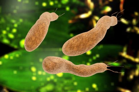 Magenschleimhaut-Entzündung durch Helicobacter-Bakterien